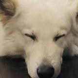Jake (Weisser Schweizer Schäferhund)
