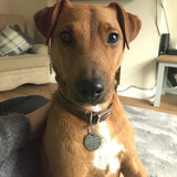 Ziggy (Parson Russell Terrier)