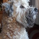 Molly (Irish Soft Coated Wheaten Terrier)