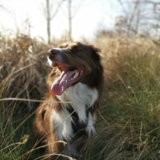 Paddy  (English Springer Spaniel)