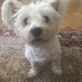 Lola (Westie)