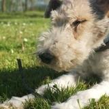 Miki (Fox Terrier De Pelo Duro)