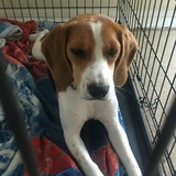Biscuit  (Beagle)