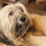 Joni (Tibet Terrier)