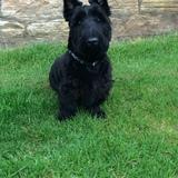 Angus (Scottish Terrier)