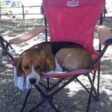 Koda - Beagle