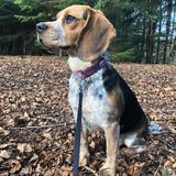 Bagel (Beagle)