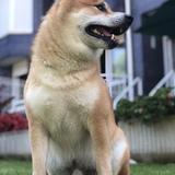 Rusty (Shiba Inu)