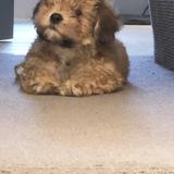 Teddy (Havanese)
