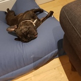 Georgie (French Bulldog)