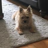 Packer (Cairn Terrier)