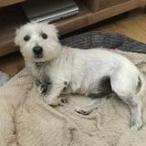 Scottie  (West Highland White Terrier)