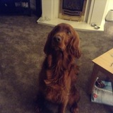 Bronagh (Irish Red Setter)
