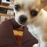 Chiwi - Chihuahua