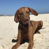 Lily (Drahthaariger Ungarischer Vorstehhund)