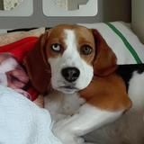 Rumba - Beagle
