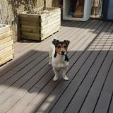Luck - Jack Russell Terrier