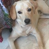 Cosmo - Labrador Retriever