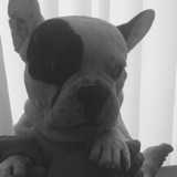 Tobi (Bulldog Francés)