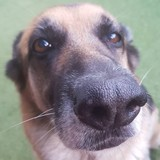 Jade (German Shepherd Dog)