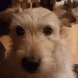 Tess (Parson Russell Terrier)