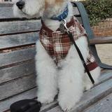 Álea (Fox Terrier De Pelo Duro)