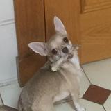 Cloe (Chihuahua)