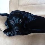 Riley  (Labrador Retriever)