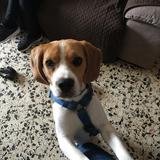 Godric - Beagle