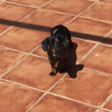 Luca (Teckel)