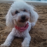 Cookie (Caniche)