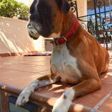 Cala  (Boxer)