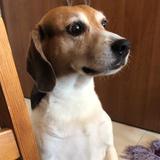 Max (Beagle)