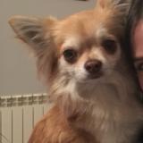 Happy - Chihuahua