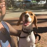 Vector - Beagle