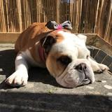 Sweetpea (English Bulldog)
