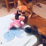 Sophie  (Chihuahua)