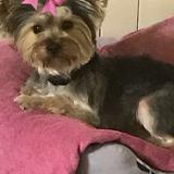 KIRA - Yorkshire Terrier
