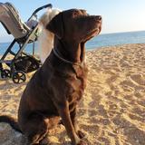 Fiby - Labrador Retriever