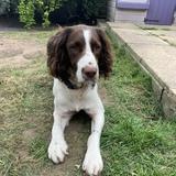 Jasper (English Springer Spaniel)