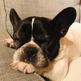 Gorka - Bulldog Francés