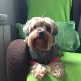 Pepa (Yorkshire Terrier)