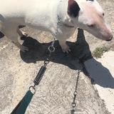 Giralda (Bull Terrier)