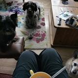 Kizzy (Cairn Terrier)