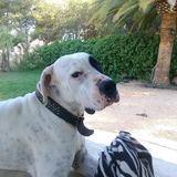Tango (Dogo Argentino)