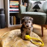 Murphy (Lakeland Terrier)