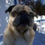 Nacho (Mops)