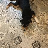 Buddy (Appenzeller Sennenhund)