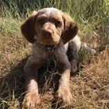 Jasper (Bretón)