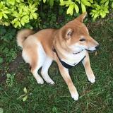 Yuri (Shiba Inu)